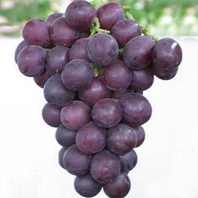 巨峰葡萄种植技术