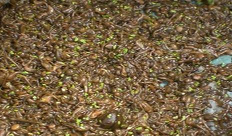 产地供应水蛭种苗,水蛭干品.水蛭现在的种苗多少钱一斤