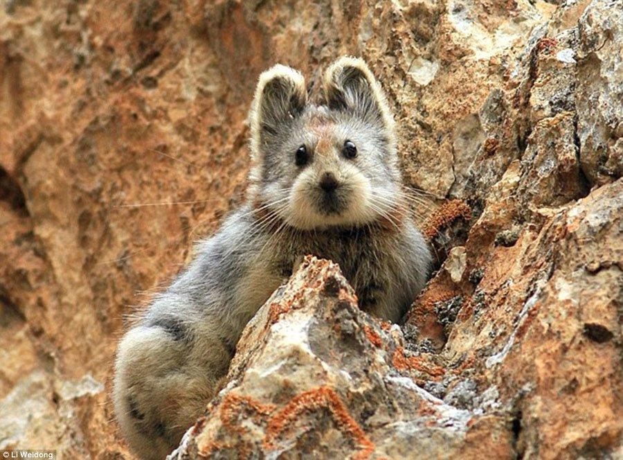 来看伊犁鼠兔比大熊猫稀有